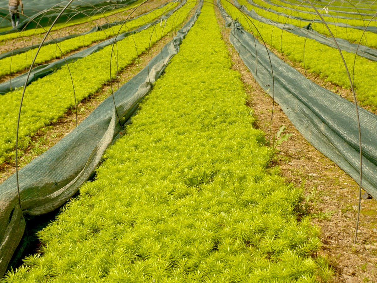 Saatbeete - im Austrieb zur 2 jährigen Nordmanntanne