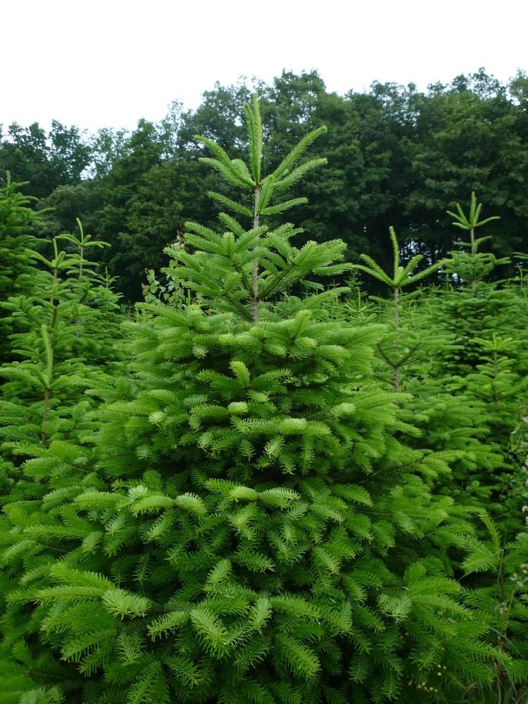 Weihnachtsbäume - Forstbaumschule Hamm in Eslohe
